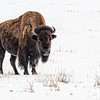 Dec 5 - Lone Buffalo <br /> <br /> Another big bull captured in Yellowstone