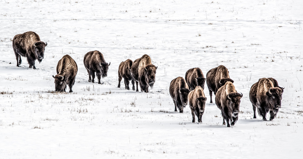 Nov 23 - Buffalo Walk<br /> <br /> Image taken in Lamar Valley, Yellowstone