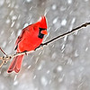 Jan 25 - Hanging Out During The Storm<br /> <br /> Another cardinal during the snow storm.  Process to make it similar to a painting.