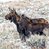 Dec 13 - Cow and calf moose, Montana