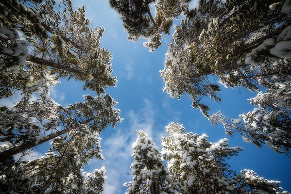 Nov 22 - Looking Up Through The Snowy Evergreens<br /> <br /> Taken near West Yellowstone
