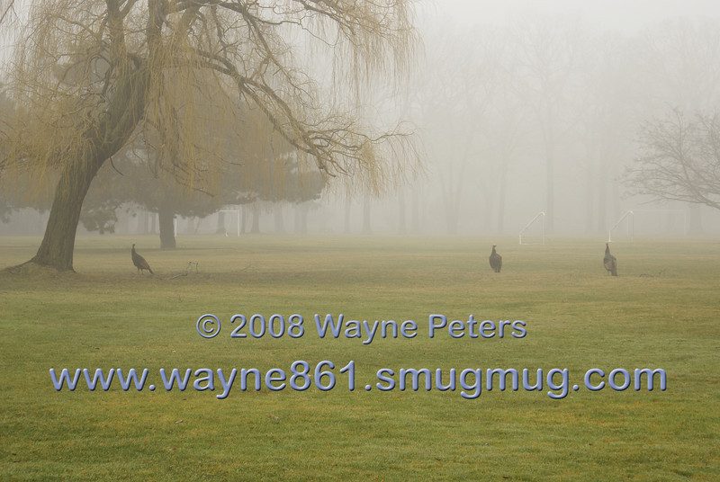 Wild turkeys take an early morning tour of the fort.