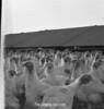 1970 sheet 41  turkeys 828