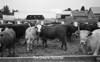1975 cows sheet 18 086
