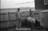 1978 4H Livestock sht 38 475