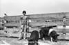 1978 4H Livestock sht 38 469