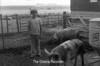 1978 4H Livestock sht 38 477