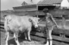 1978 4H Livestock sht 38 459