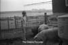 1978 4H Livestock sht 38 474