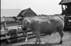 1978 4H Livestock sht 38 457