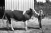 1981 4H animals n pets 984