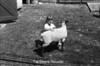 1981 4H animals n pets 979