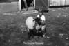 1981 4H animals n pets 980