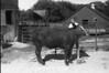 1986 4H Animals 66 670