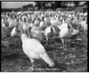 1974 Turkeys sheet 34 793