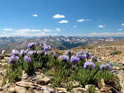 More wildflowers at over 14,000 feet