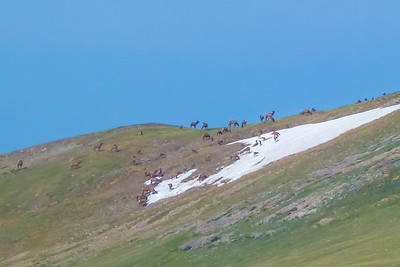 Huge Herd of Elk!