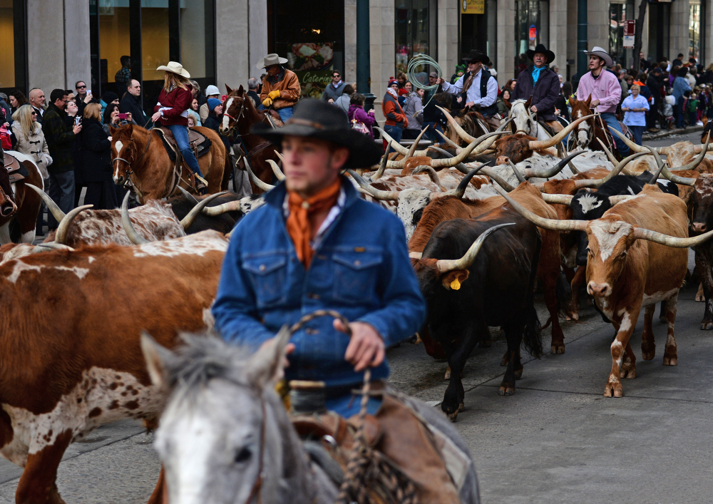 . The annual National Western Stock Show Kick-off Parade makes its way down 17th Street in downtown Denver, January, 09 2014. Cowboys and cowgirls on horseback lead Texas Longhorn cattle along the parade. (Photo by RJ Sangosti/The Denver Post)
