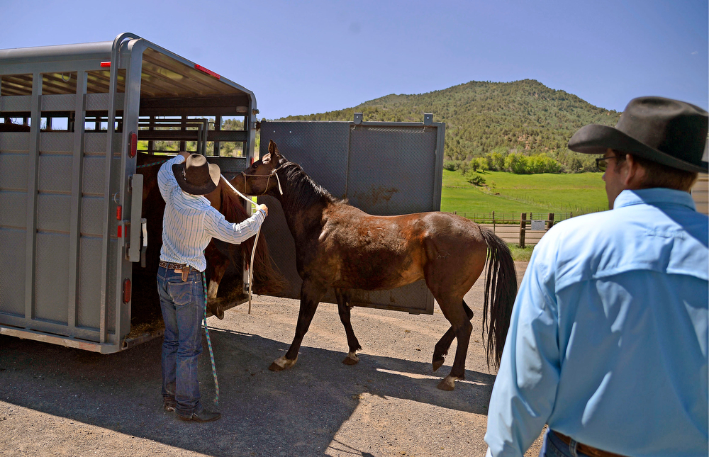 . Ty Wallace, 20, leads loads a colt into a trailer as Shelby Ehart looks on as they plan to move animals and possessions to a less disaster-prone area away from the Salt Creek Ranch. Residents living in the area of Salt Creek were given notice that there could be an evacuation in the event of inclement weather on Wednesday, May 28, 2014. (Photo by AAron Ontiveroz/The Denver Post)