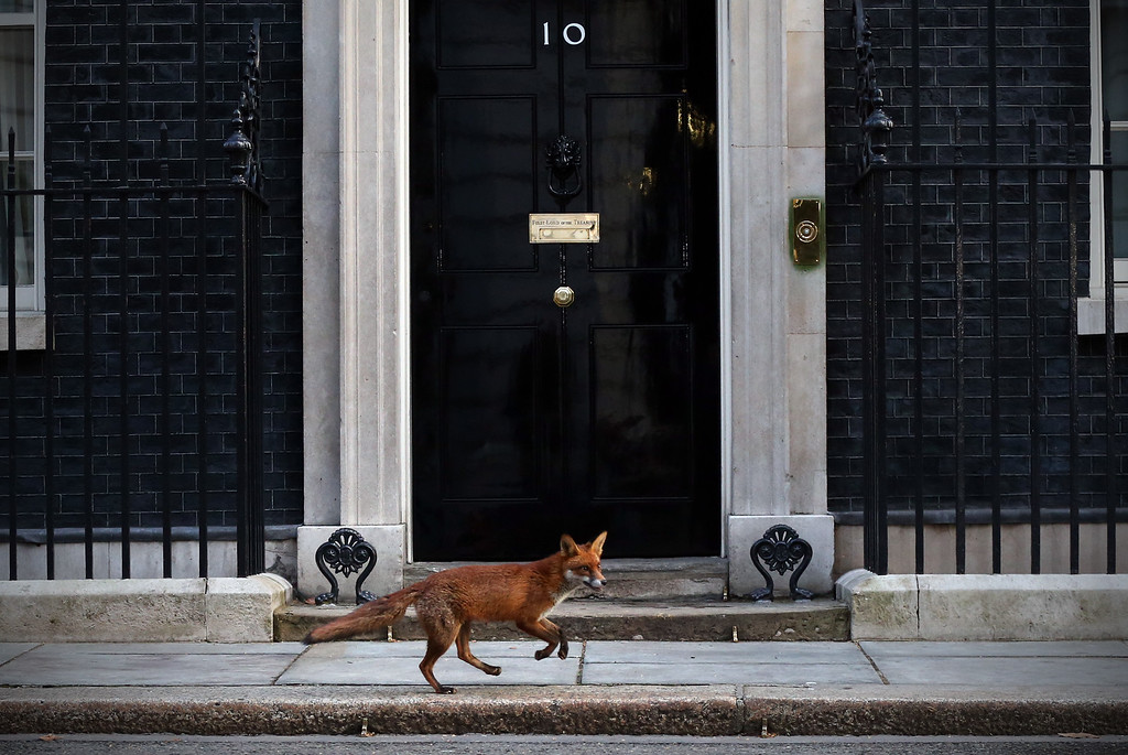 . A fox runs in front of 10 Downing Street on March 30, 2015 in London, England. Campaigning in what is predicted to be Britain\'s closest national election in decades will start after Queen Elizabeth II dissolves Parliament today. (Photo by Carl Court/Getty Images)