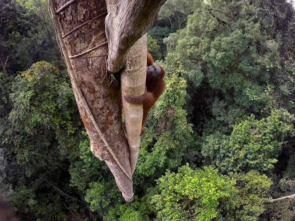 ". In this image released by World Press Photo titled ""Tough Times for Orangutans\"" by photographer Tim Laman which won the first prize in the Nature Stories category shows a Bornean orangutan climbing over 30 meters up a tree in the rain forest of Gunung Palung National Park, West Kalimantan, Indonesia, Aug. 12, 2015. (Tim Laman, World Press Photo via AP)"