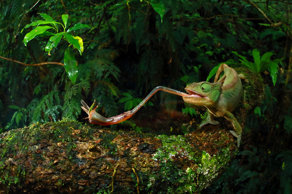 ". In this image released by World Press Photo titled ""Chameleon Under Pressure\"" by photographer Christian Ziegler for National Geographic which won the third prize in the Nature stories category shows a Furcifer Ambrensis female foraging for insects with extendable tongue, Montain d�Ambre, Madagascar, Nov. 29, 2014.(Christian Ziegler/National Geographic, World Press Photo via AP)"