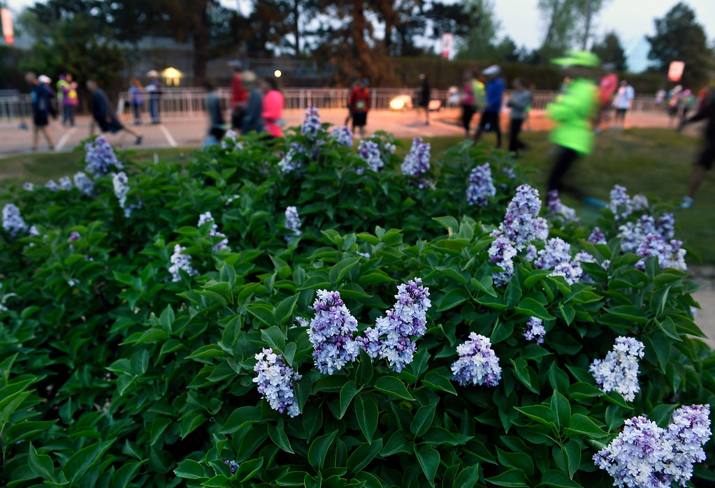 . DENVER, CO - MAY 15: Lilac bushes are in full bloom for the beginning of the 11th annual Colfax Marathon that started and finished in City Park on May 15, 2016 in Denver, Colorado.  Thousands of runners took part in the annual springtime race which included a marathon, a marathon relay,  a half marathon and the urban 10 miler.  (Photo by Helen H. Richardson/The Denver Post)