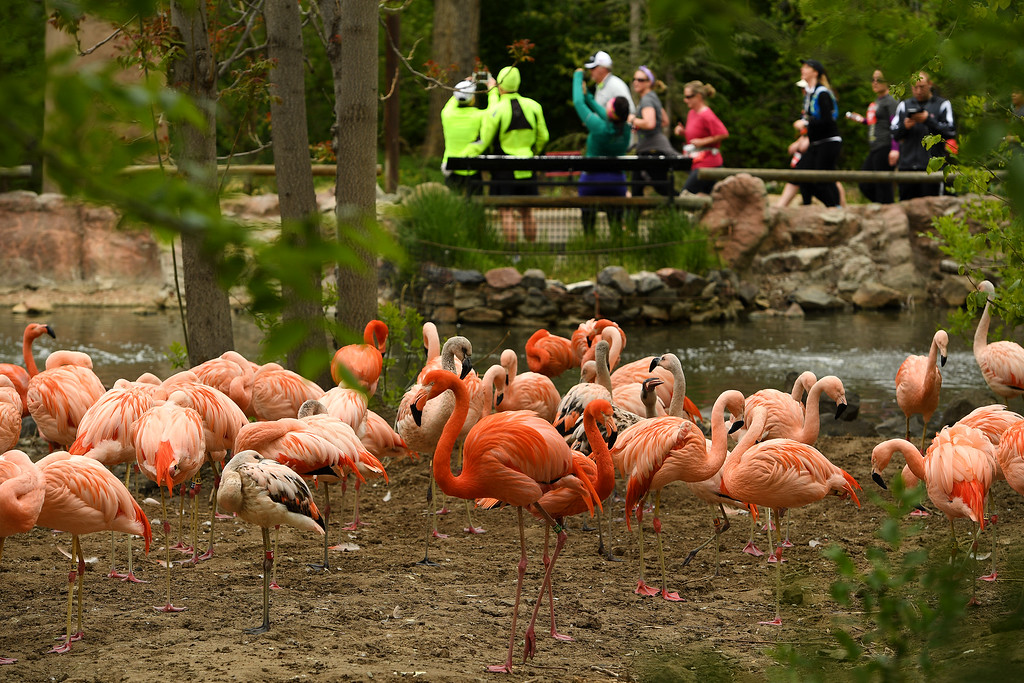. DENVER, CO - MAY 15: Hundreds of runners, running by beautiful pink flamingos, make their way through the Denver Zoo, which was around the three mile marker of the 11th annual Colfax Half Marathon on May 15, 2016 in Denver, Colorado.  Thousands of runners took part in the annual springtime race which included a marathon, a marathon relay,  a half marathon and the urban 10 miler.  (Photo by Helen H. Richardson/The Denver Post)