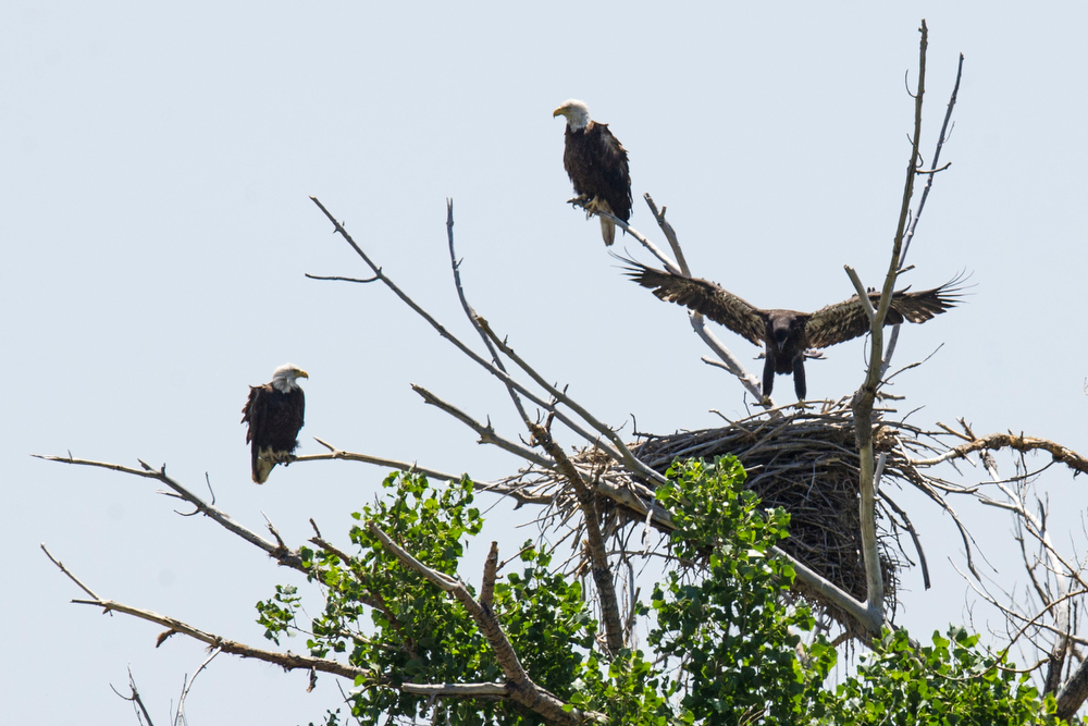 . A female eaglet exercises her wings trying to gain lift out of the nest while her parents are perched on branches at their nest along E120th Avenue near, E-470 on Thursday, July 03, 2014 in Commerce City, CO.  Volunteers rotate in shifts to keep watch over the baby eagle, as it is expected to take flight soon, and it\'s nests proximity to E-470 tollway is worrisome. (Photo by Kent Nishimura/The Denver Post)