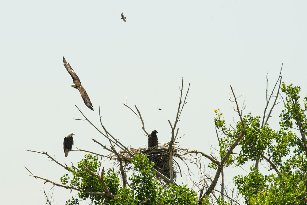 . The mother eagle soars past the nest before landing to join the father eagle (left) and female eaglet (right) at a nest along E120th Avenue near, E-470 on Thursday, July 03, 2014 in Commerce City, CO.  Volunteers rotate in shifts to keep watch over the baby eagle, as it is expected to take flight soon, and it\'s nests proximity to E-470 tollway is worrisome. (Photo by Kent Nishimura/The Denver Post)