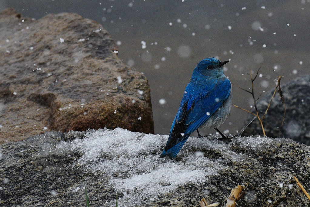 . A mountain bluebird sits near the edge of Wonderland Lake in Boulder, Colorado, Saturday, April 16, 2016. Heavy wet snow is expected to continue falling through the end of the weekend in Denver and Boulder, according to the National Weather Service.  (Brenden Neville/Special to the Denver Post)