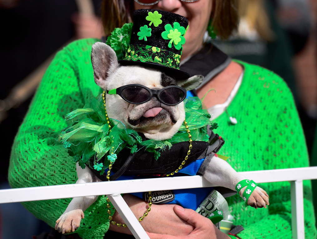 """. Marleen Puzak and French Bull Dog \""""Beignet\"""" watch as the 2016 Denver St. Patrick\'s Day Parade makes its way down Blake Street in downtown Denver on Saturday, March 12, 2016. (Photo by Kathryn Scott Osler/The Denver Post)"""