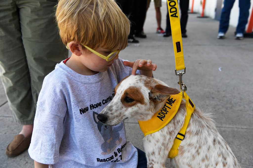 . Conner Grubb, 4, inspects rescue dog �Lindsay,� an Australian cattle dog inside the TAC Air hanger May 04, 2016.  (Photo by Andy Cross/The Denver Post)