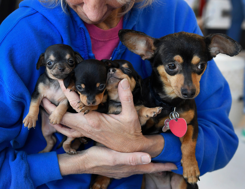 . Jamie Roberson, founder of Denver Dachshund Rescue and Transport holds �Magnolia�, right, a Chiweenie, mix between a Dachshund and a Chihuahua and her three puppies  inside the TAC Air hanger Wednesday May 04, 2016.  Dog is My Copilot, a non-profit organization flew in over 90 rescue dogs and rescue cats from Texas and New Mexico to awaiting foster organizations at Centennial Airport May 04, 2016. (Photo by Andy Cross/The Denver Post)