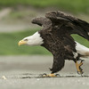 Bald eagle (Haliaeetus leucocephalus) moving towards another eagle on the beach, in a fight over food. Unalaska, Aleutian Islands, Alaska, July 2010. © Klaus Nigge / National Geographic Creative for National Geographic Magazine