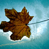Leaf on the Window