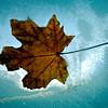 Leaf on the Window