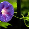 Drops on Purple