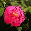 John Cabot Rose