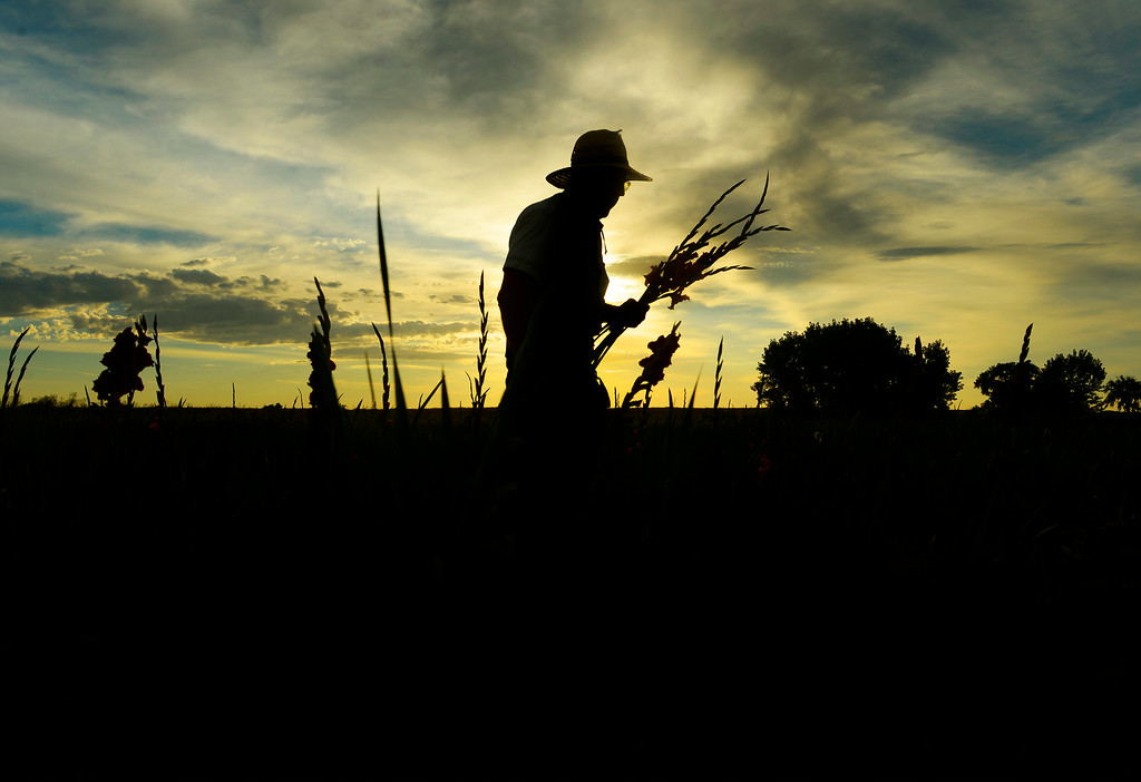 . At first light Marvin Bruce cuts the day\'s glads, in his field of Gladiola flowers growing near Milliken, August 19, 2014. Bruce grows the Gladiola flowers for farmer\'s markets and to sell at his farm stand near Milliken. (Photo by RJ Sangosti/The Denver Post)