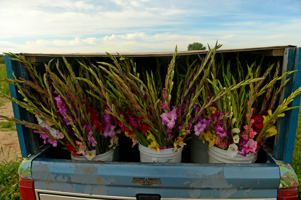 . A load of Gladiola flowers are put into the back of Marvin Bruce\'s truck  after cutting the flowers in a field near Milliken, August 19, 2014. Bruce grows the Gladiola flowers for farmer\'s markets and to sell at his farm stand near Milliken. (Photo by RJ Sangosti/The Denver Post)