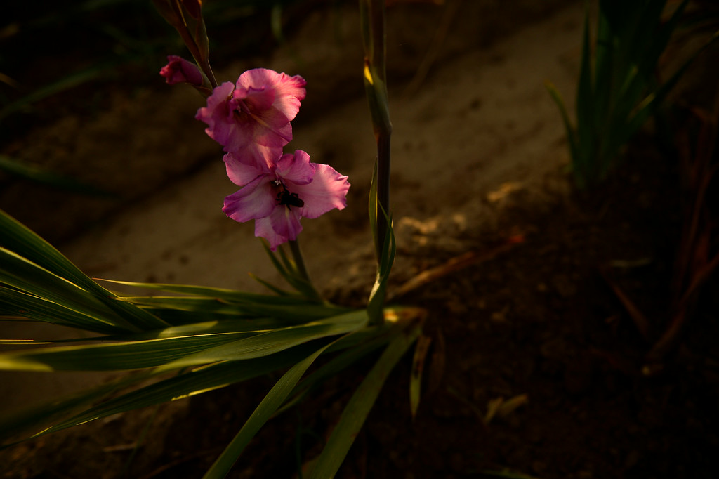 . Gladiola flowers grow in a field near Milliken, August 19, 2014. The Gladiola flowers are grown to be sold at farmer\'s markets. (Photo by RJ Sangosti/The Denver Post)