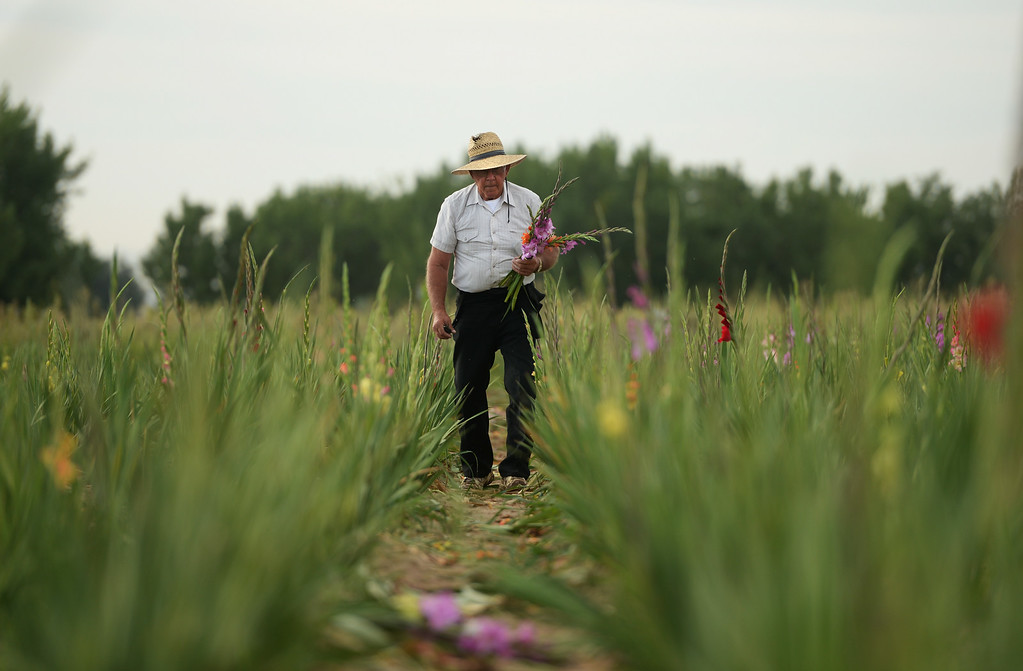 . Marvin Bruce walks the rows of Gladiola flowers picking up piles of cut flowers in his field near Milliken, August 19, 2014. Bruce grows the Gladiola flowers for farmer\'s markets and to sell at his farm stand near Milliken. (Photo by RJ Sangosti/The Denver Post)