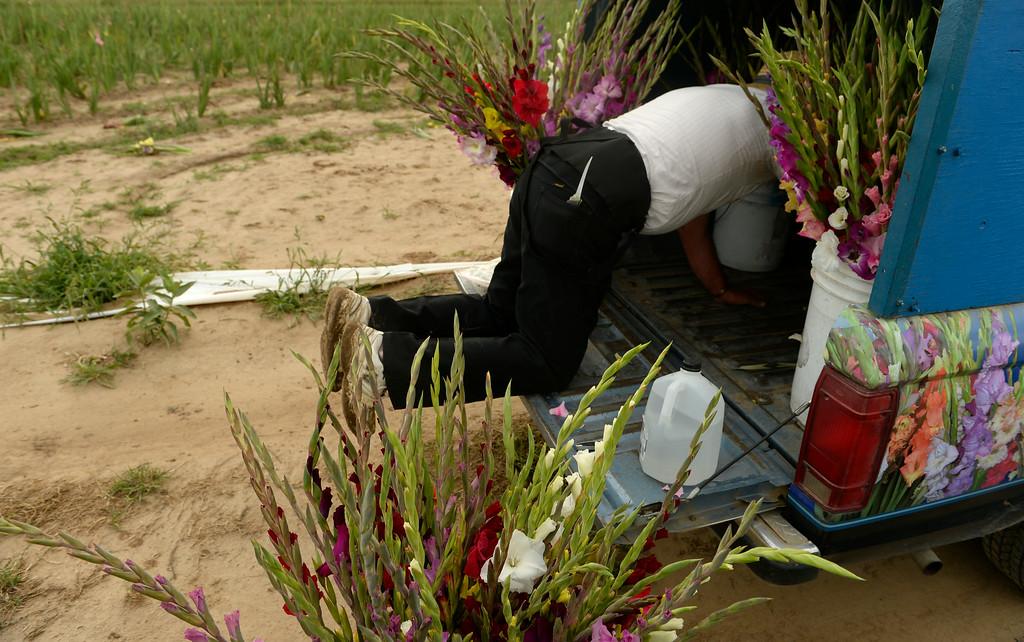 . Marvin Bruce loads Gladiola flowers into his truck after cutting the flowers in a field near Milliken, August 19, 2014. Bruce grows the Gladiola flowers for farmer\'s markets and to sell at his farm stand near Milliken. (Photo by RJ Sangosti/The Denver Post)