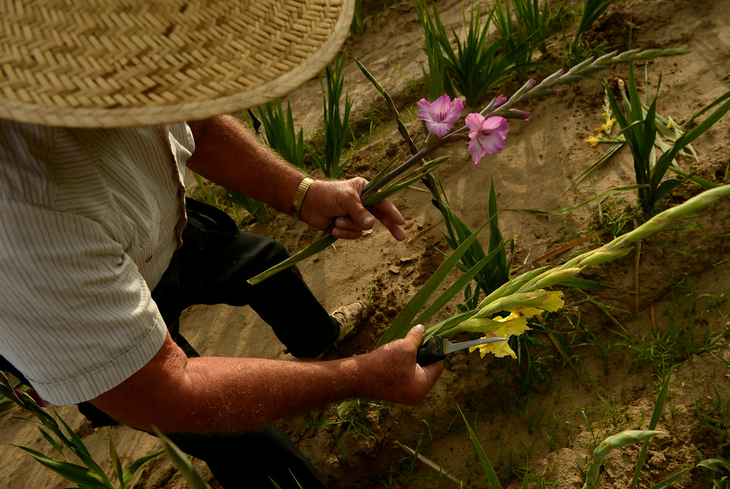 . With a pocketknife in hand Marvin Bruce cuts the day\'s glads in his field of Gladiola flowers growing near Milliken, August 19, 2014. Bruce grows the Gladiola flowers for farmer\'s markets and to sell at his farm stand near Milliken. (Photo by RJ Sangosti/The Denver Post)
