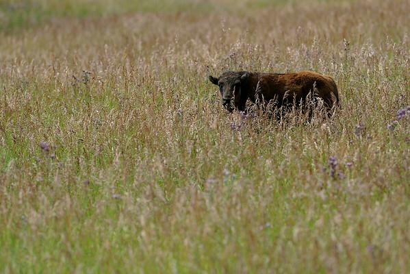 2014-08-05 Bison Herd