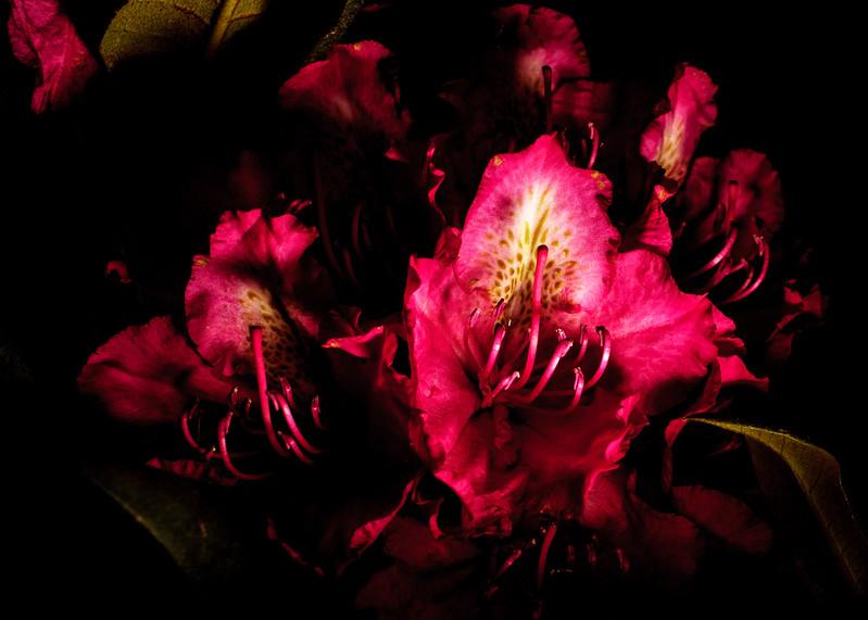 bright rhododendron