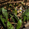 White Trout Lilly