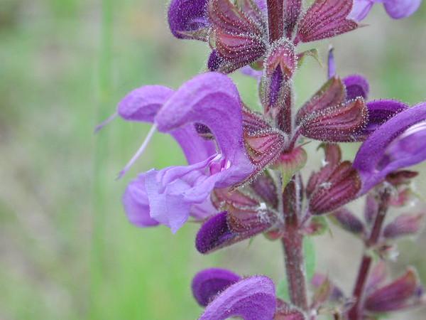 WildflowerPurple1