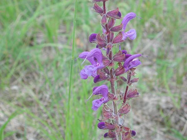 WildflowerPurple2